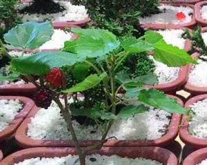 Folhas de amoreira - fitoterápico