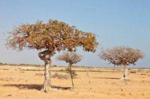 Myrrha - planta que compõe o fitoterápico Xiao Huo Luo Dan