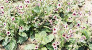 flor de rehmannia glutinosa