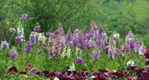 tonicos de Qi e Xue - flor remania glutinosa